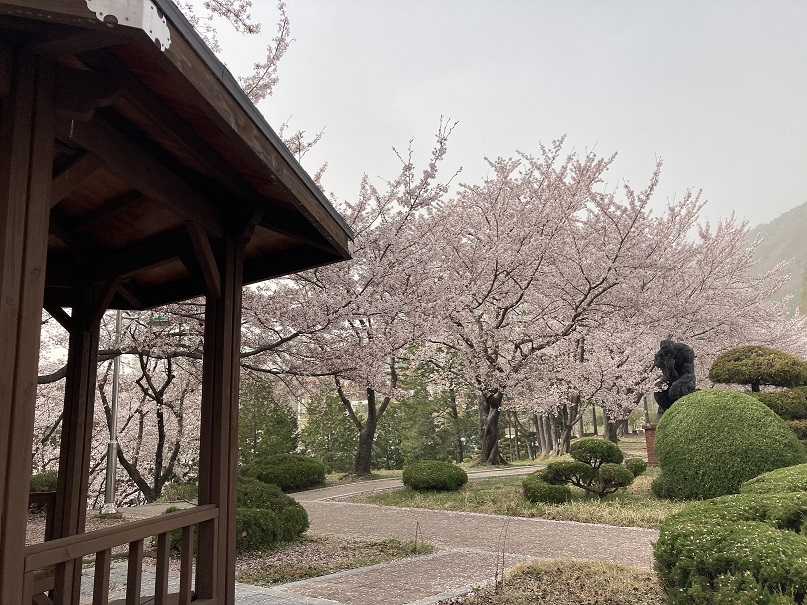 Cherry Blossoms Around the Changwon University Campus